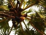 Harvesting palm tree.jpg