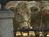 Cows web.jpg