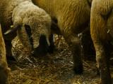 Sheep web.jpg