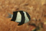 Striped Damselfish