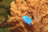 Yellowtail Blue Damselfish