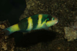 Blackbarred Wrasse