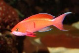 Redbar Anthias