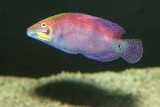 Whitebarred Wrasse