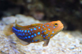 Blue-spotted Jawfish