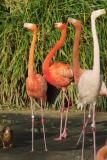 IMG00829duck among flamingo.jpg