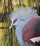 IMG00620 blue crowned pigeon.jpg
