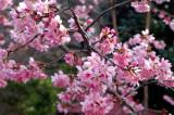 Alishan Cherry Blossom Season