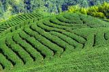 Eight Diagrams Tea Plantation - PFC Photo Travel