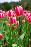 Tulips - PFC Photo Travel