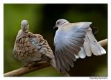 Dove Friends-6249
