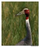 Sarus Crane(Grus antigone) -6626