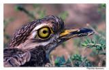 Eurasian Thick-knee(Burhinus oedicnemus)-6574