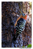 Rufous-bellied Woodpecker(Dendrocopos hyperythrus)-7174