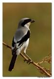 Southern Grey Shrike (Lanius meridionalis) -7580