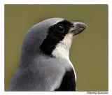 Southern Grey Shrike(Lanius meridionalis)-7582