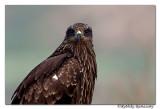 Black kite-7617