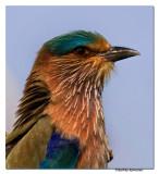 Indian Roller (Coracias benghalensis)-8142