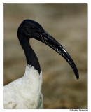 Black Ibis (Pseudibis papillosa)-8040