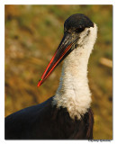 Woolly necked Stork(Ciconia episcopus)-8023