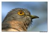 Common Hawk-cuckoo-8480.
