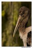 Painted Stork(immature)-8803