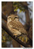 Spotted Owlet(Athene brama)-8948