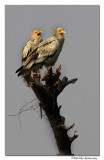 Egyptian Vulture (Neophron percnopterus)-9472