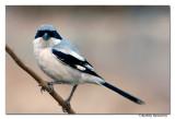 Southern Grey Shrike(Lanius meridionalis)-9619