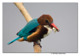 White-throated Kingfisher(Halcyon smyrnensis)-0027