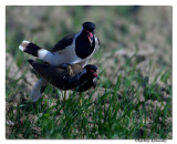 Red-wattled Lapwing(Vanellus indicus)-0627