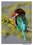 White-throated Kingfisher (Halcyon smyrnensis)-1707