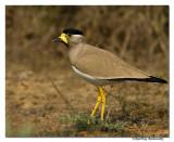 Yellow-wattled Lapwing(Vanellus malabaricus)-2196