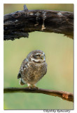 Spotted Owlet (Athene brama) -2997