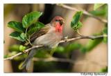 Common Rosefinch(Carpodacus erythrinus)-3579