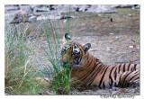 Tiger-1033