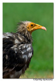 Egyptian Vulture (Neophron percnopterus)-5756