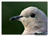 Eurasian Collared Dove(Streptopelia decaocto)-5886