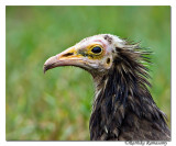 Egyptian Vulture (Neophron percnopterus)-juv-6006