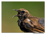 Indian Robin (Saxicoloides fulicatus)-6838