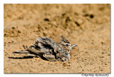 Mudbath-Crested Lark (Galerida cristata)-6638
