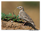 Ashy-crowned Sparrow-lark(Eremopterix grisea )F-6620