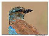 European Roller(Coracias garrulus)Juvinile-6720