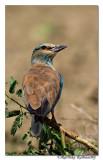 European Roller(Coracias garrulus)Juvenile-6758