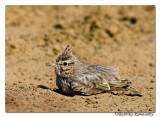 Crested Lark (Galerida cristata)-6637