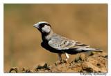 Ashy-crowned Sparrow(larkEremopterix grisea )male-6616