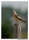 White-eyed Buzzard( Butastur teesa)(Juvenile)-6702