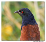 Greater Coucal_DD32167