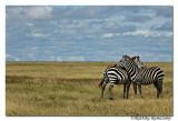 Zebras_D2X7972