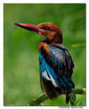 Juvenile White-throated Kingfisher( Halcyon smyrnensis)_DD39115